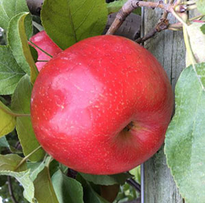Roseland Red Honeycrisp